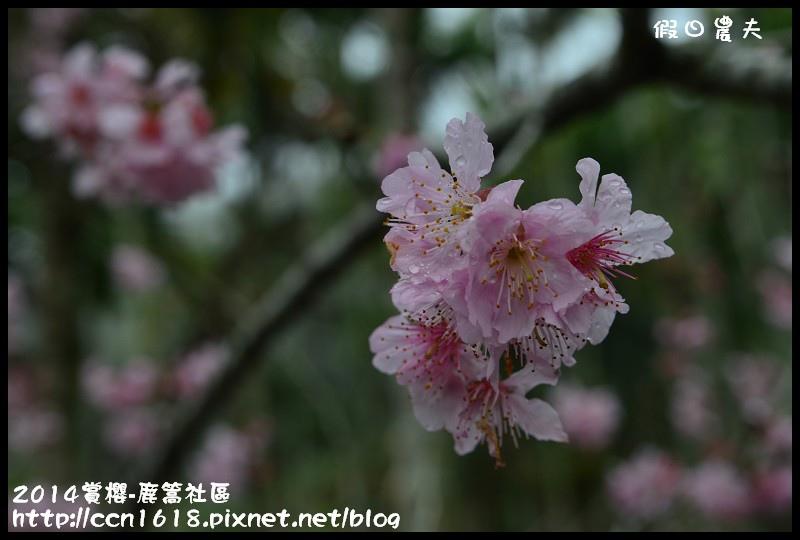 2014賞櫻-鹿篙社區DSC_4413
