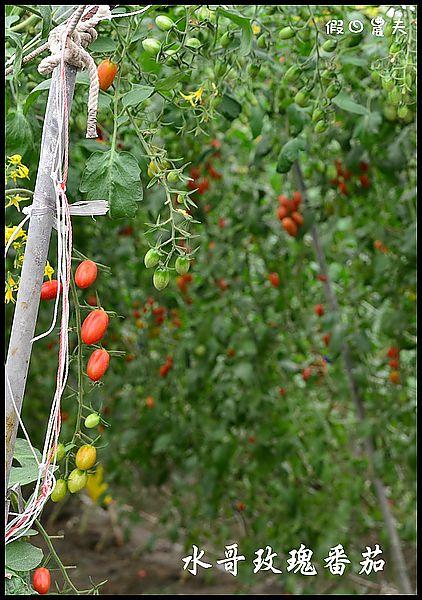 水哥玫瑰番茄DSC_2855