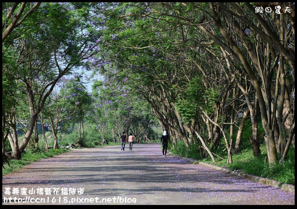 嘉義盧山橋藍花楹隧道DSC_7126