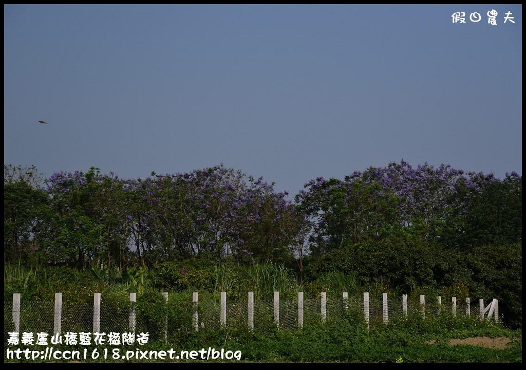 嘉義盧山橋藍花楹隧道DSC_7205