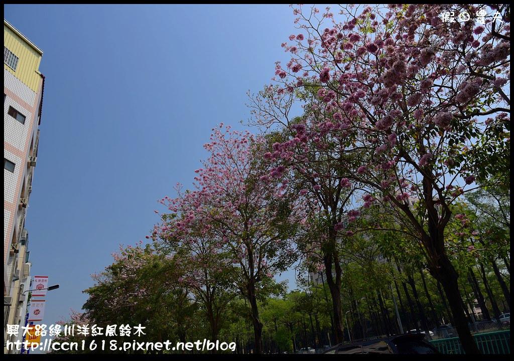興大路綠川洋紅風鈴木DSC_2223