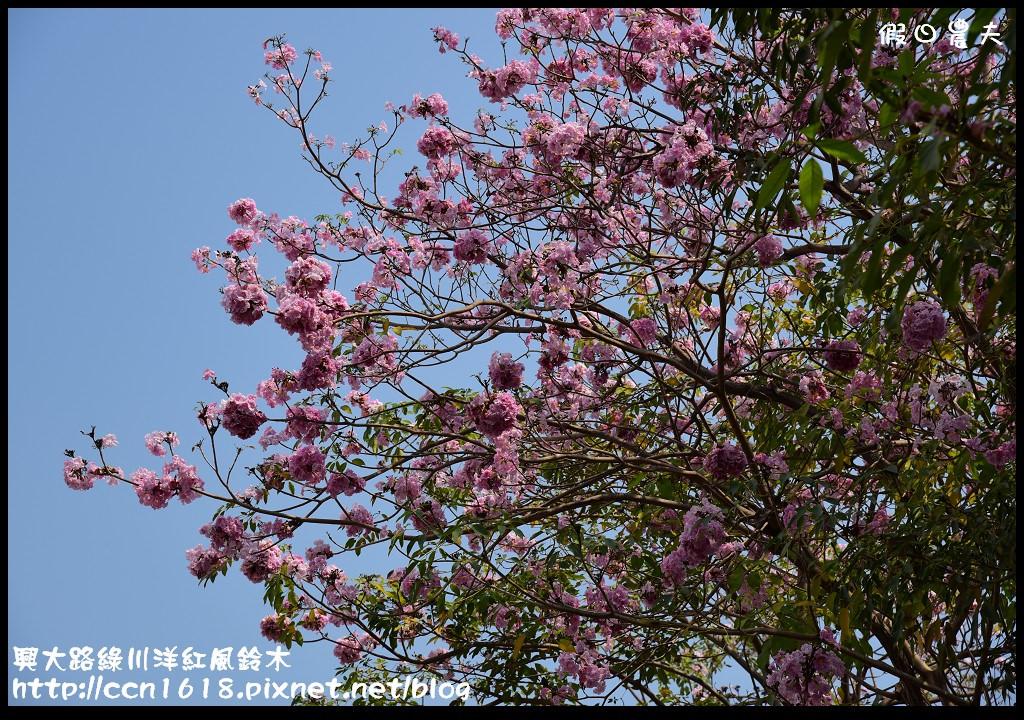 興大路綠川洋紅風鈴木DSC_2224