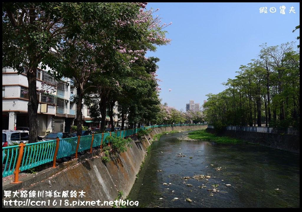 興大路綠川洋紅風鈴木DSC_2246