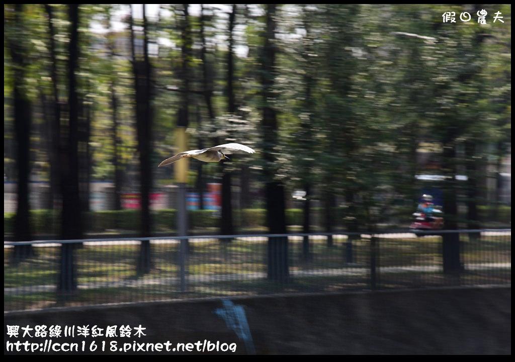 興大路綠川洋紅風鈴木DSC_2312