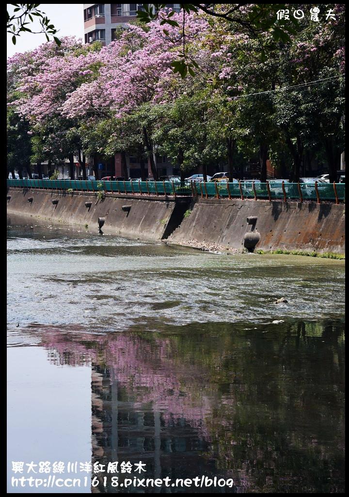 興大路綠川洋紅風鈴木DSC_2319