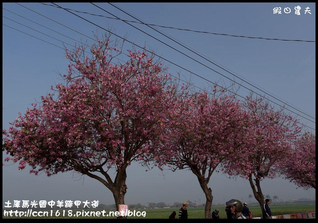 土庫馬光國中羊蹄甲大道DSC_1036