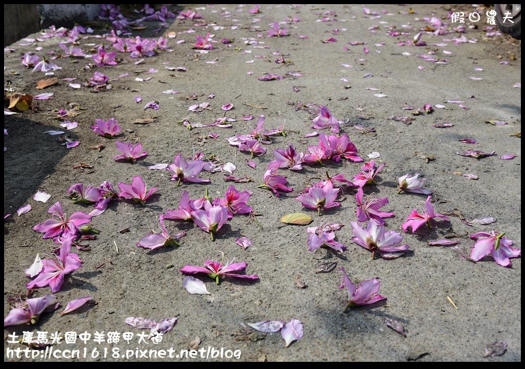土庫馬光國中羊蹄甲大道DSC_1144