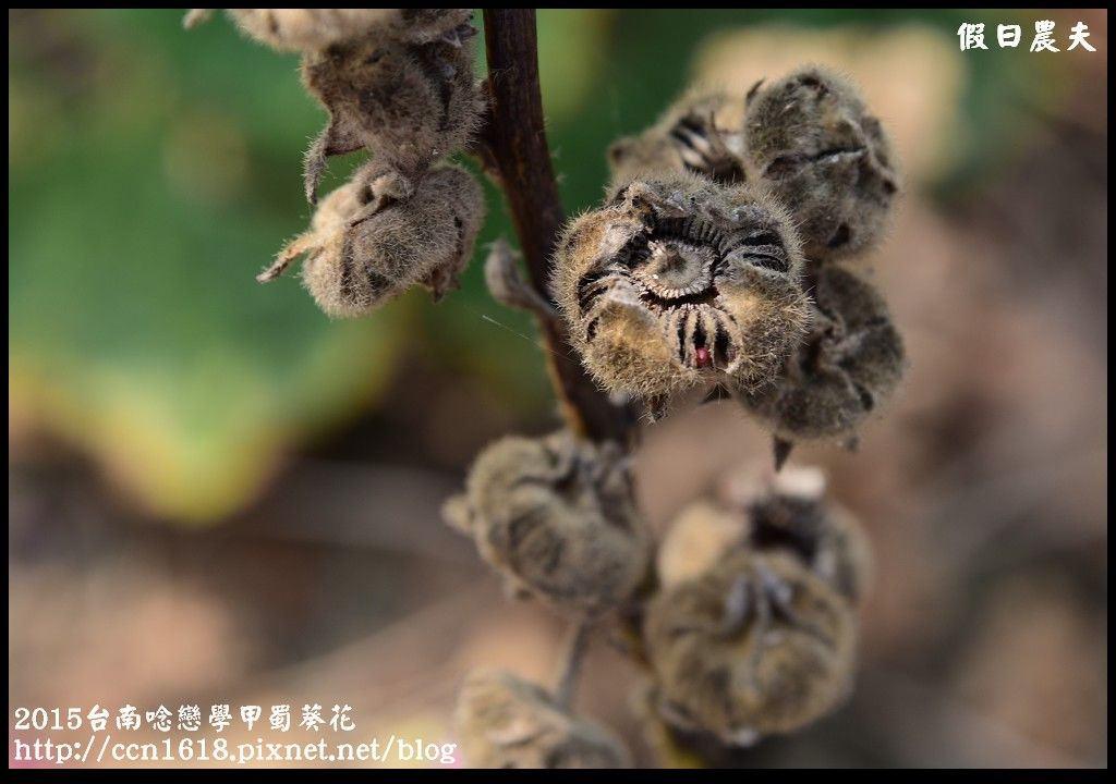 2015台南唸戀學甲蜀葵花DSC_1218