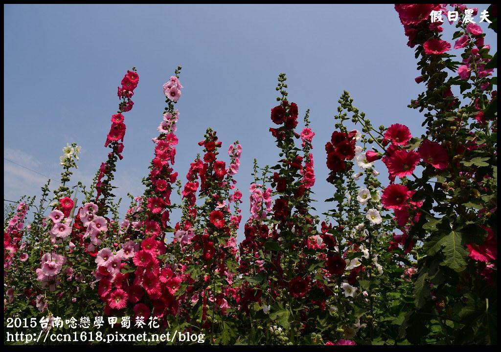 2015台南唸戀學甲蜀葵花DSC_1357