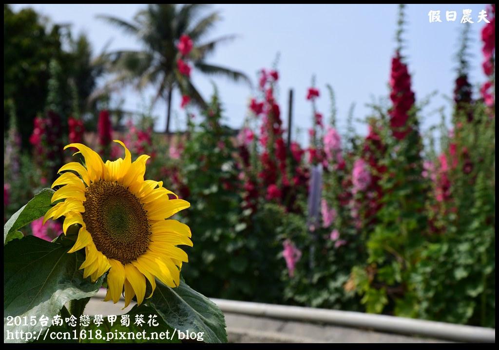 2015台南唸戀學甲蜀葵花DSC_1422