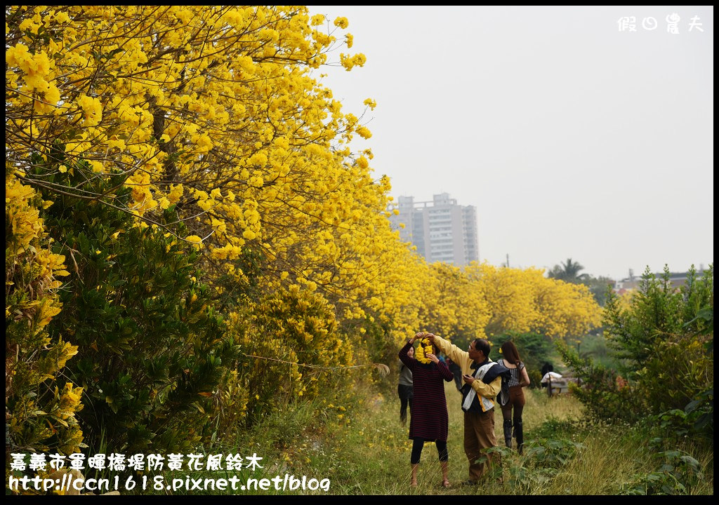 嘉義市軍暉橋堤防黃花風鈴木DSC_0537