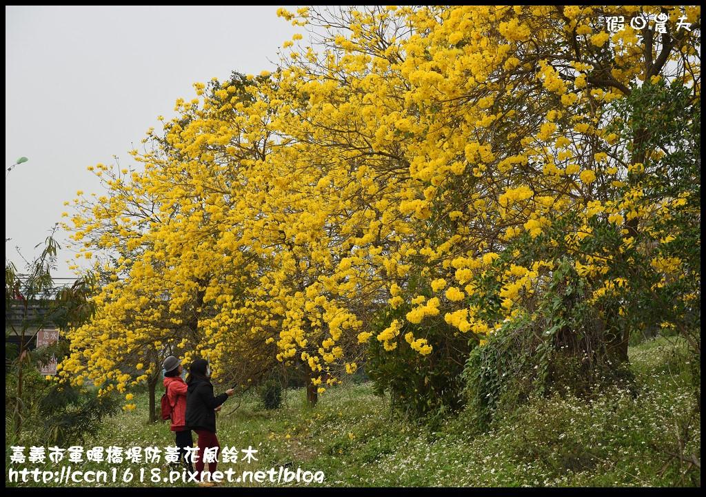 嘉義市軍暉橋堤防黃花風鈴木DSC_0539