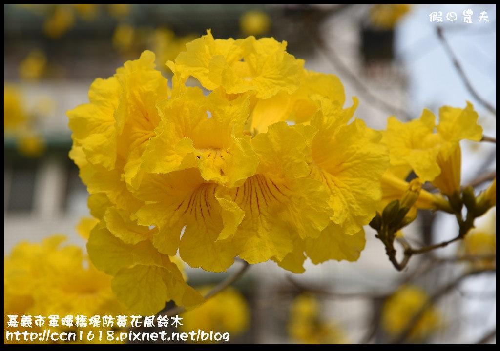嘉義市軍暉橋堤防黃花風鈴木DSC_0557