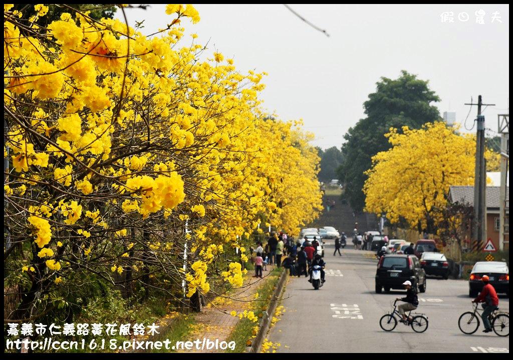 嘉義市仁義路黃花風鈴木DSC_0584