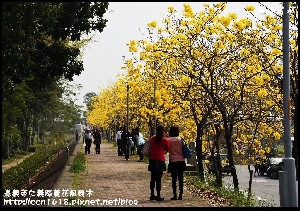嘉義市仁義路黃花風鈴木DSC_0586