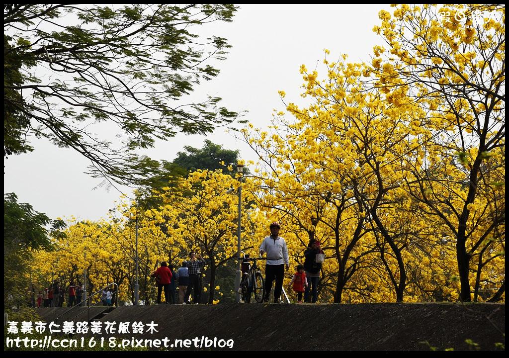 嘉義市仁義路黃花風鈴木DSC_0589