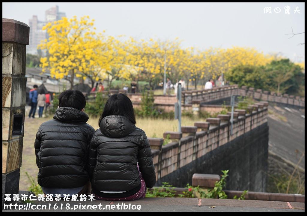 嘉義市仁義路黃花風鈴木DSC_0578