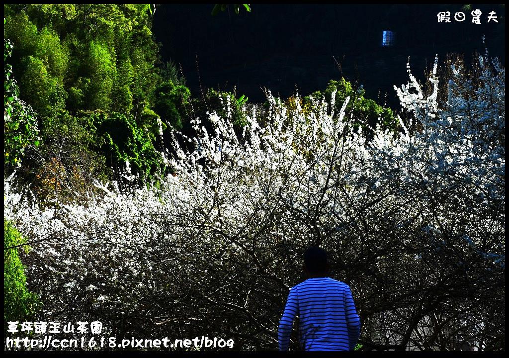 草坪頭玉山茶園DSC_0989