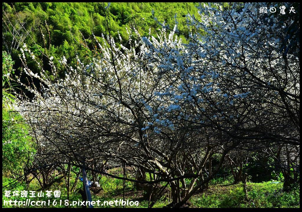 草坪頭玉山茶園DSC_0990