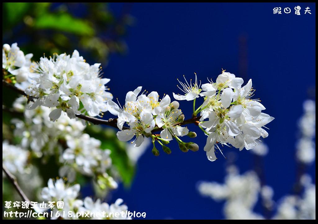 草坪頭玉山茶園DSC_0994