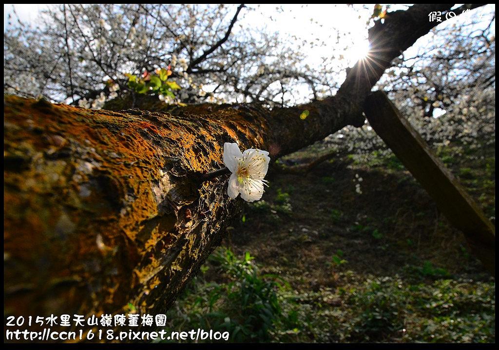 2015水里天山嶺陳董梅園DSC_9599