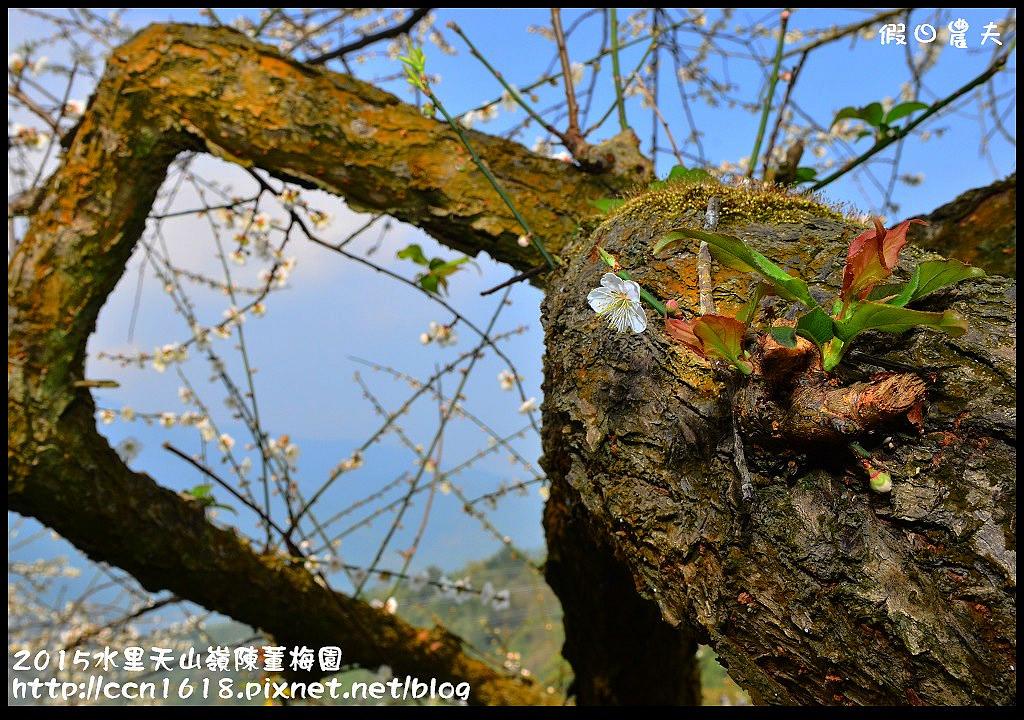 2015水里天山嶺陳董梅園DSC_9603