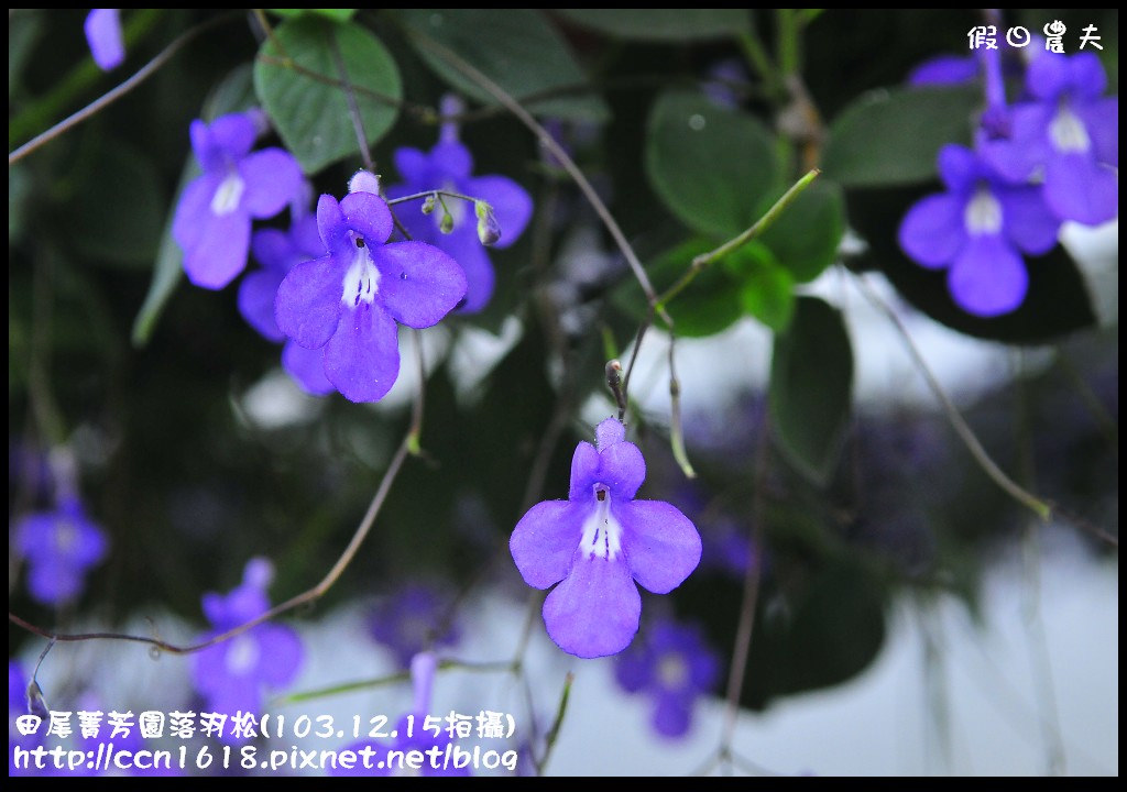 田尾菁芳園落羽松_DSC9047