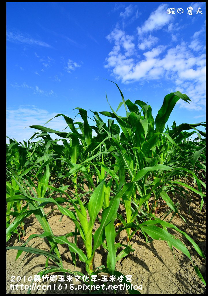 2014義竹鄉玉米文化季DSC_6025