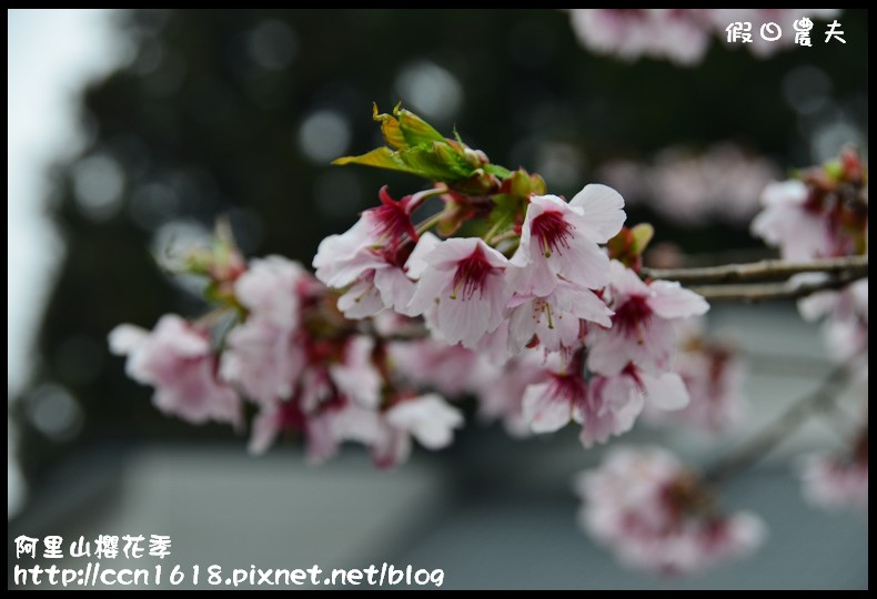 阿里山櫻花季DSC_7039