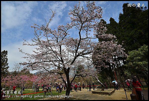 阿里山櫻花DSC_4272