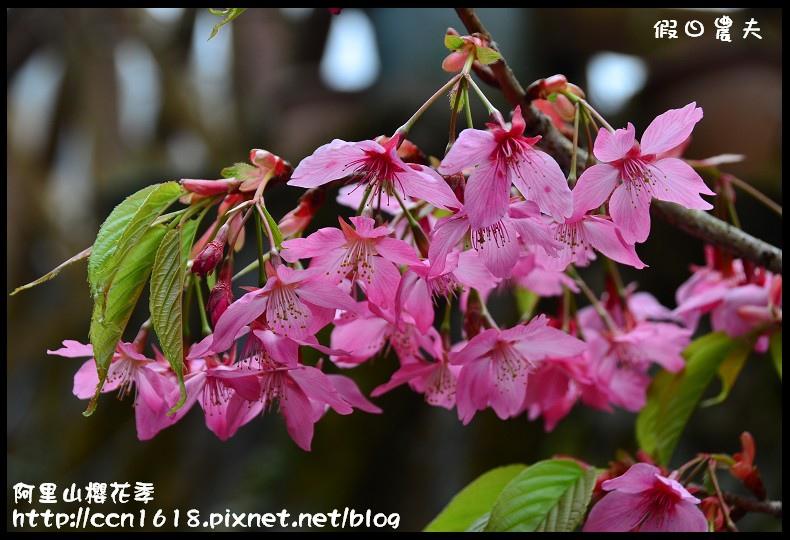 阿里山櫻花季DSC_7033