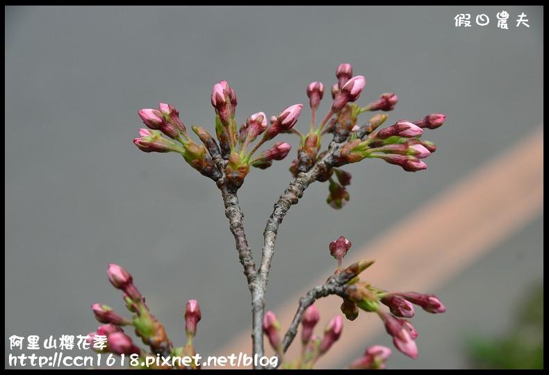 阿里山櫻花季DSC_7036