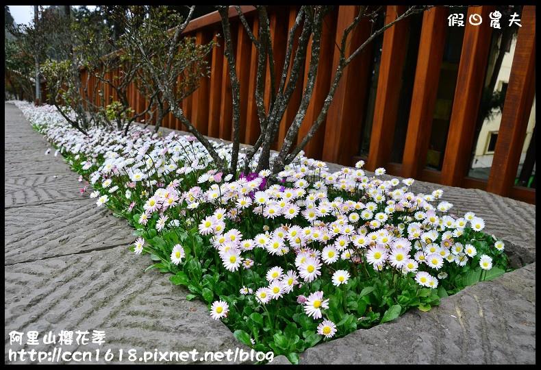 阿里山櫻花季DSC_7029