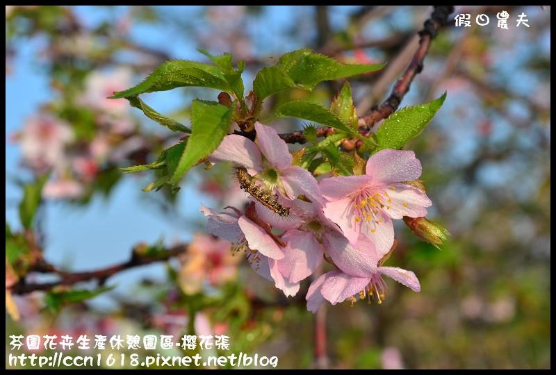 芬園花卉生產休憩園區-櫻花張DSC_3267