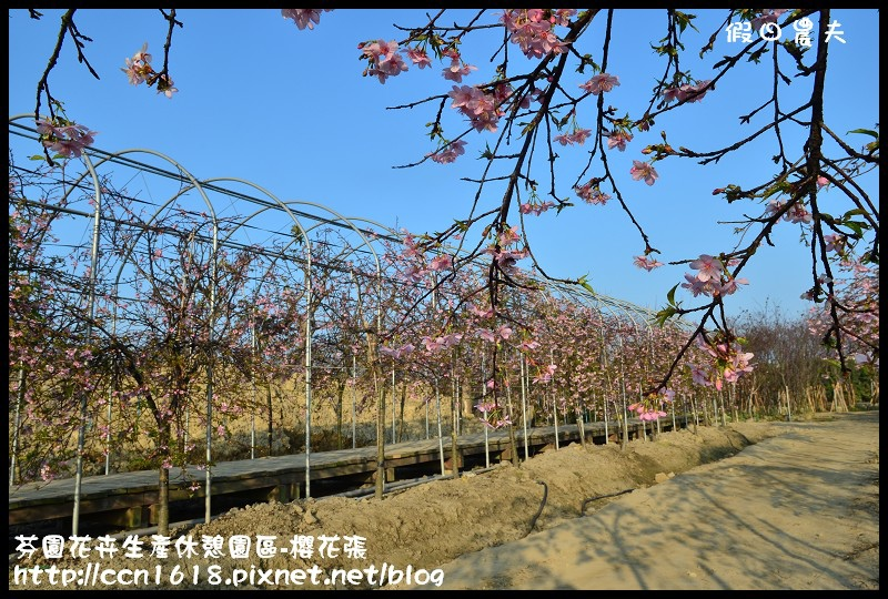 芬園花卉生產休憩園區-櫻花張DSC_3276