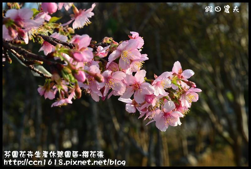 芬園花卉生產休憩園區-櫻花張DSC_3297