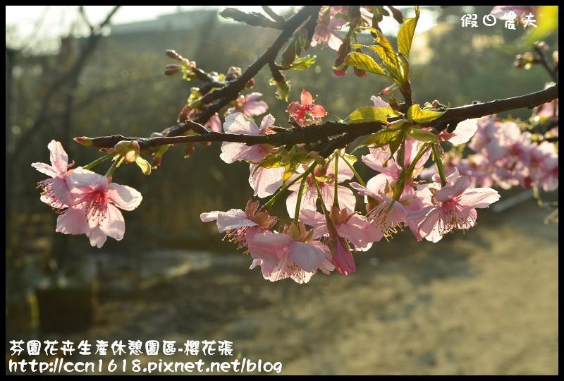 芬園花卉生產休憩園區-櫻花張DSC_3303