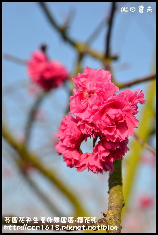 芬園花卉生產休憩園區-櫻花張DSC_3334