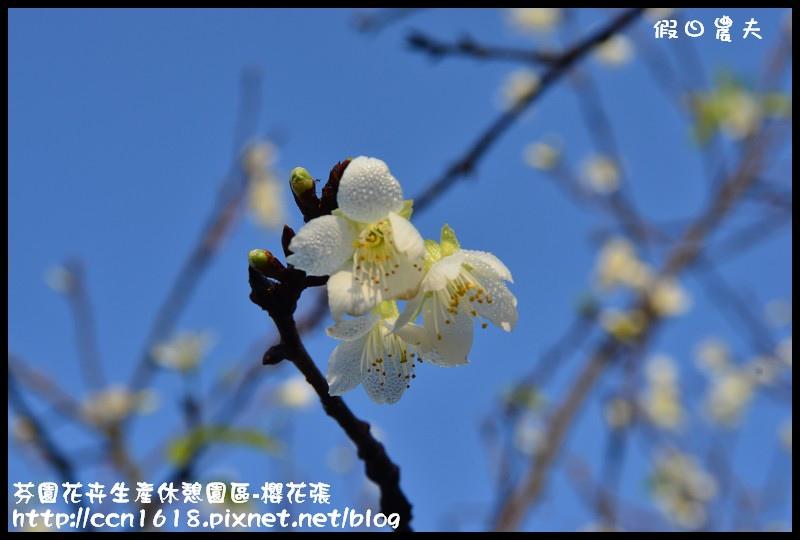 芬園花卉生產休憩園區-櫻花張DSC_3357