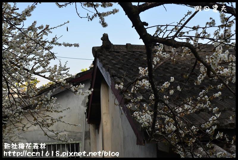 新社梅花森林DSC_1295