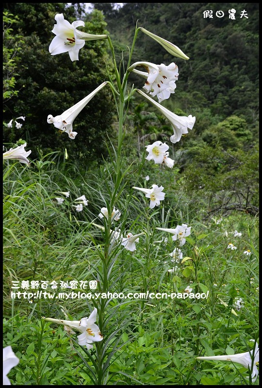 三義野百合秘密花園_DSC3008.jpg