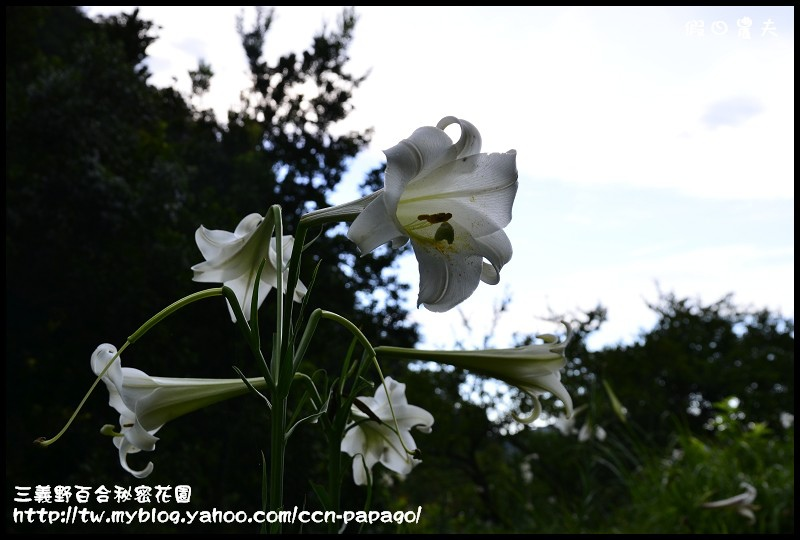 三義野百合秘密花園_DSC3026.jpg
