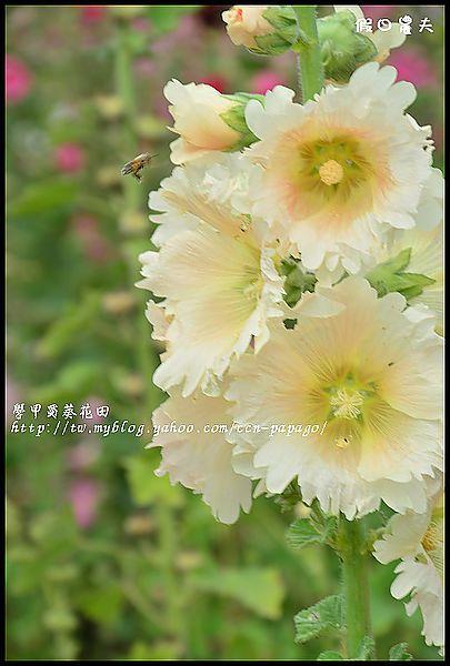 學甲蜀葵花田DSC_6709