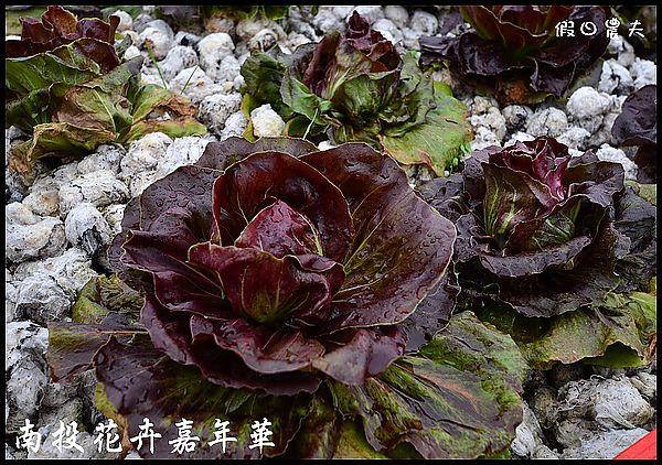 南投花卉嘉年華DSC_6425