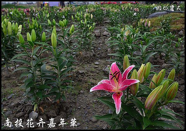 南投花卉嘉年華DSC_6445