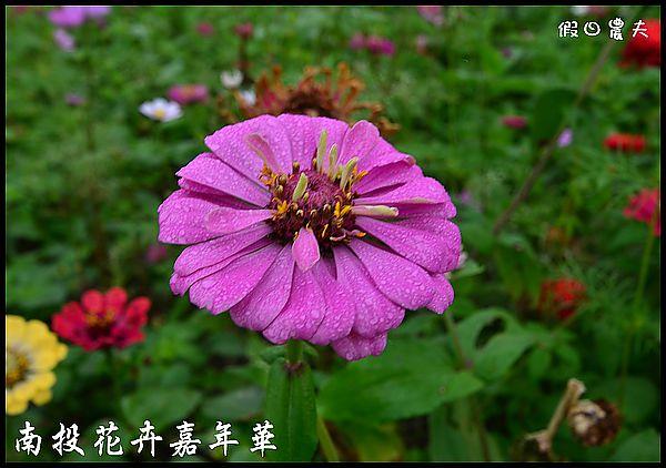 南投花卉嘉年華DSC_6450