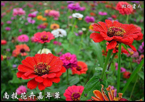 南投花卉嘉年華DSC_6454