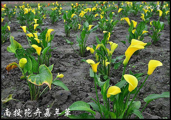 南投花卉嘉年華DSC_6456