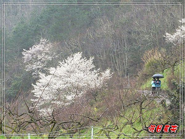 武陵賞櫻DSCF9107