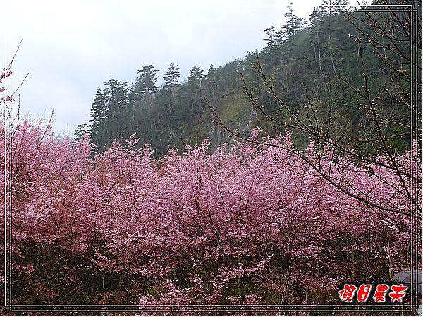 武陵賞櫻DSCF9200